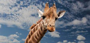 4-octubre-jirafa