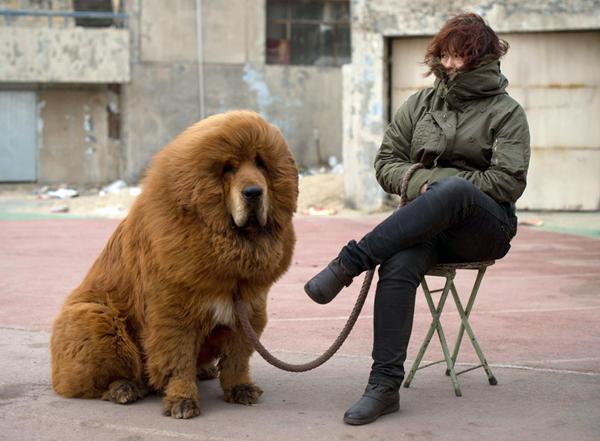 Mastín-tibetano-perro-león