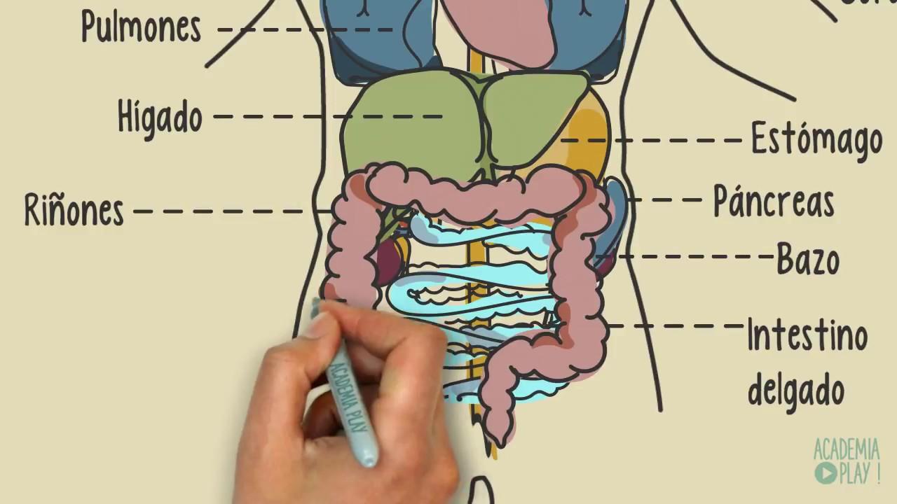 7 órganos del cuerpo humano sin los que se puede vivir ...